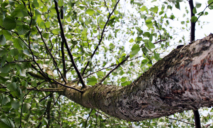 tree-bouleau-1396832